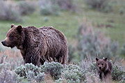 Natural Focal Point Photography Metal Prints - Mama Grizzly Guiding Cub Metal Print by Natural Focal Point Photography