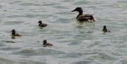 Gail Matthews - Mama Mallard Duck with Ducklings