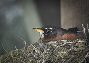Nikon D90 Prints - Mama Robin Print by Ronda Broatch