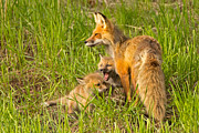 Natural Focal Point Photography - Mamma Fox and Kits