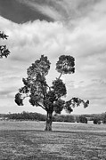 Battlefield Site Prints - Manassas Battlefield Tree Print by Guy Whiteley