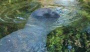 Manatee Wave Print by Sandy Moulder
