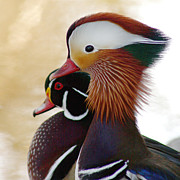 Bob and Jan Shriner - Mandarin Duck and Wood...