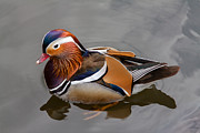 Brown Pyrography Metal Prints - Mandarin duck Metal Print by Bjoern Vilcens