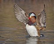 Mandarin Duck Flapping Away Print by Susan Candelario