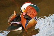 In Pyrography Prints - Mandarin Duck Print by Valia Bradshaw