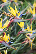 Yellow Bird Of Paradise Photos - Mandela Gold 2 by Neil Overy