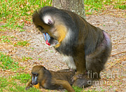 Mandrill Prints - Mandrill Male And Female Mating Print by Millard H. Sharp