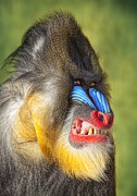 Robert Jensen Metal Prints - Mandrill Metal Print by Robert Jensen