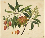 Science Photo Library - Mangifera indica,...