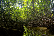 Rudi Prott - mangrove forest in Costa...