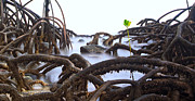 Tree Roots Photo Framed Prints - Mangrove Tree Roots Detail Framed Print by Dirk Ercken