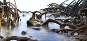 Tree Roots Photo Posters - Mangrove Tree Roots Poster by Dirk Ercken