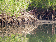 Reflections In Water Prints - Mangroves in The Gambia Print by Tony Murtagh