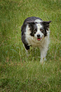 Border Collie Photos - Mans Best Friend by Bill  Wakeley