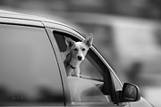 Cute Prints - Mans Best Friend Riding Shotgun Print by Bob Orsillo