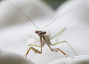 Kelly Cave - Mantis in the garden