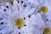 Garry Gay - Many Ladybugs On White...