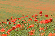 Mothers Day Prints - Many Poppies Print by Anne Gilbert