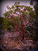 Prescott Framed Prints - Manzanita Bush Framed Print by Aaron Burrows
