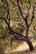 Manzanita Tree Print by Suzanne Luft