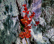 Growing From Rock Posters - Maple and Rock Poster by Bob Hundt