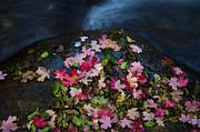 Saija  Lehtonen - Maple Confetti Creekside