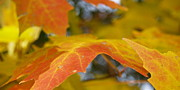 Autumn Leaf Photos - Maple Leaf Edges in Autumn by Anna Lisa Yoder