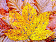 M Bleichner - Maple leaf in fall