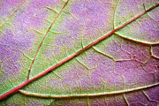 Leaf Abstract Prints - Maple Leaf Macro Print by Adam Romanowicz