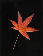 Autumn Leaf Photos - Maple Leaf on Black 2 by Sharon  Talson
