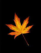 Autumn Leaf Photos - Maple Leaf on Black by Sharon  Talson