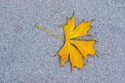 Maple Leaf On Granite 5 Print by Alexander Senin