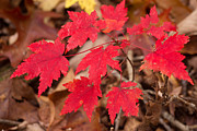 Red Maple Leaves Framed Prints - Maple Leaf Palette Framed Print by Douglas Barnett