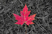 Ron Pettitt Prints - Maple Leaf Print by Ron Pettitt