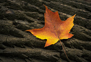 Log Photos - Maple Leaf by Scott Norris