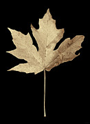 Light Taupe Posters - Maple Leaf Sepia Poster by Jennie Marie Schell
