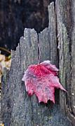 Steven Ralser - Maple Leaf