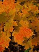 Sue Houston - Maple Leaf
