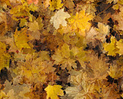 Maple Leaves 2013 Print by Joseph Duba