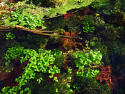 Watercress Photos - Maple Leaves and Watercress by Robin Street-Morris