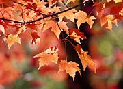 Steven Ralser - Maple Leaves I