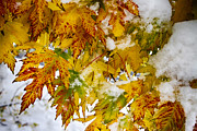 James BO  Insogna - Maple Leaves In The Snow