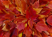 Red Leaf Posters - Maple Leaves Poster by Loree Johnson