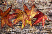 Maple Photographs Posters - Maple Leaves Poster by Mariola Szeliga