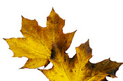 The Forests Edge Photography - Maple Leaves Montage No....
