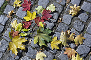 Aleksandr Volkov - Maple leaves on stones