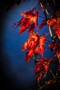 North American Photography Posters - Maple Leaves Shadows Poster by Robert Bales