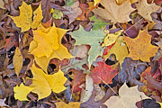 Steven Ralser Prints - Maple Leaves Print by Steven Ralser