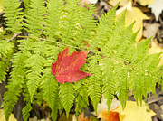 Steven Ralser Prints - Maple on fern Print by Steven Ralser